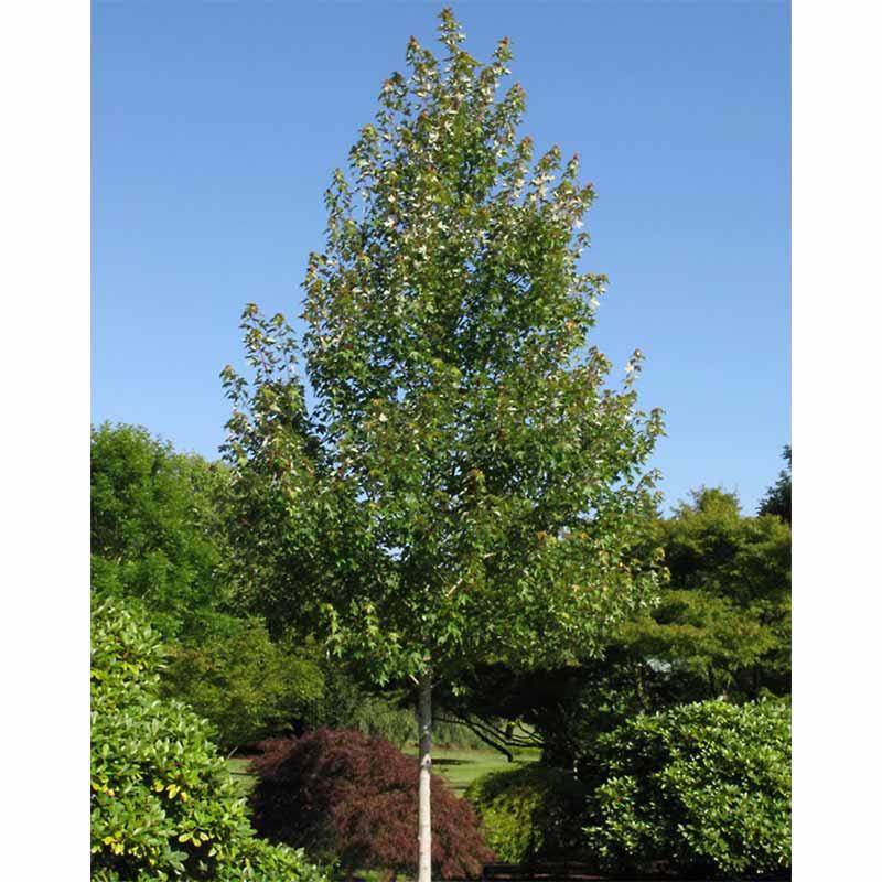 Frank Jr Redpointe Red Maple Acer Rubrum Tree