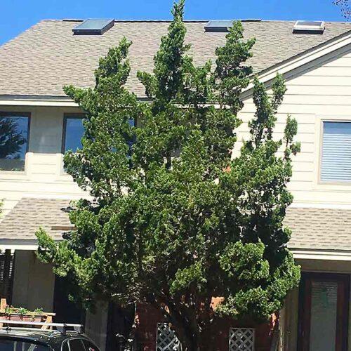 Juniperus Virginiana Idyllwild Tree