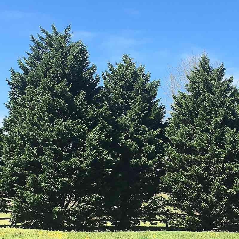 Juniperus Virginiana Eastern Red Cedar