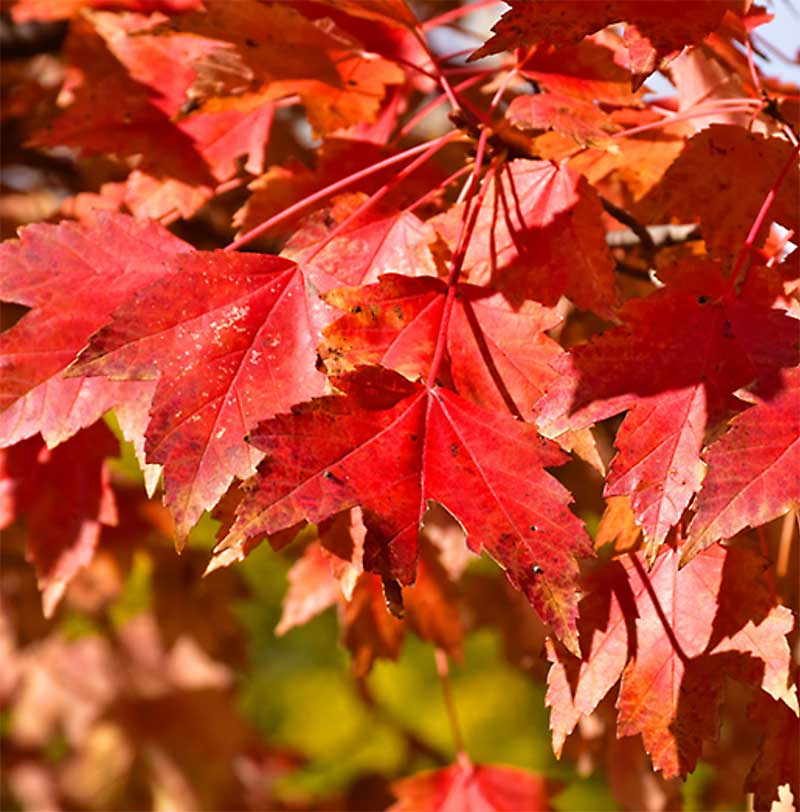 Sun Valley Red Maple Foliage