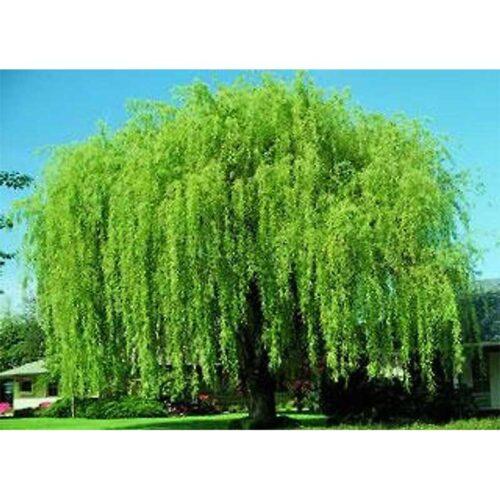 Wisconsin Weeping Willow