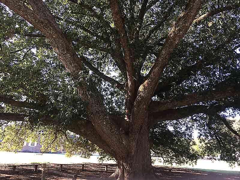 Native Live Oak Tree