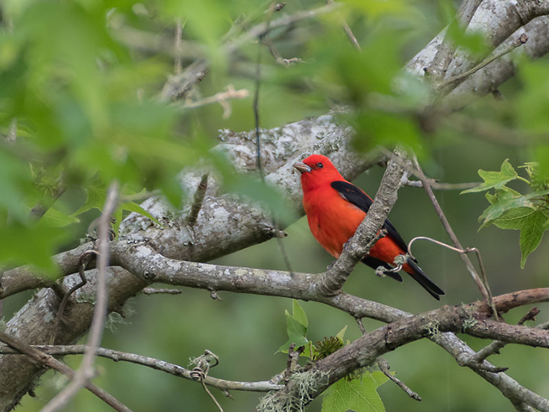 Red Tanager In Tree Nature's Birdhouses