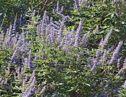 Summer Blooming Vitex