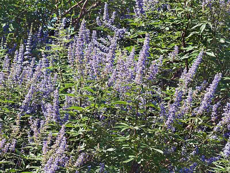 Summer Blooming Vitex Agnus Castus